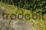Thumbnail cement floor with wild vines growing near Dorfen Upper Bavaria Germany