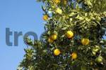 Thumbnail Oranges still on the tree, Altea, Costa Blanca, Spain, Speciality, food, nationaltypically