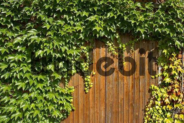 Product picture barn with wild vines growing near Dorfen Upper Bavaria Germany