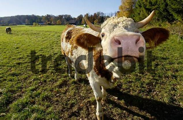 Product picture cow on pasture Starnberg Lake Bavaria Germany