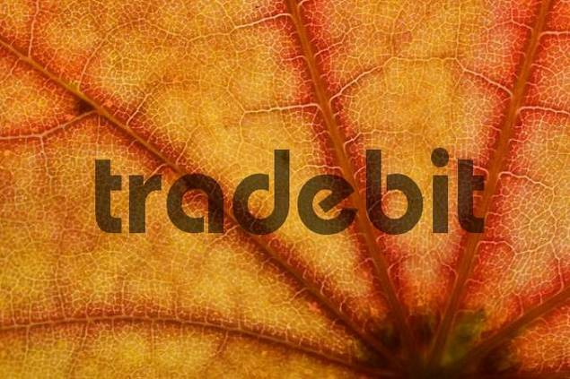 Product picture detail of a maple leaf in autumn colours