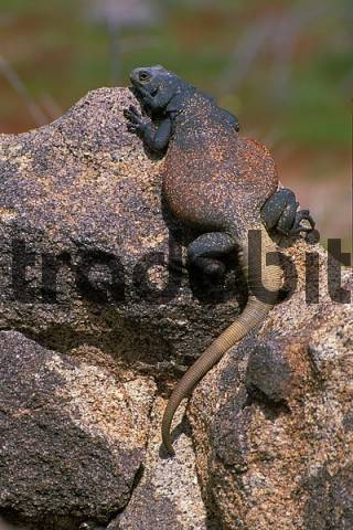 Product picture Chuckwalla in Joshua Tree National Park California USA