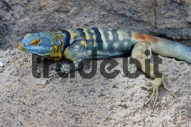 Product picture Baja Rock Lizard resting on a rock